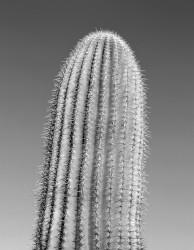 Saguaro Cactus, Studio #1; Saguaro National Park, Arizona, U.S.A. INFO