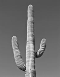 Saguaro Cactus, Studio #2; Saguaro National Park, Arizona, U.S.A. INFO