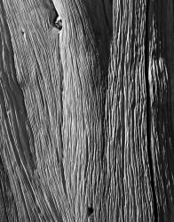 Tronco, Dettaglio, Bristlecone Pine Forest, California, U.S.A. INFO
