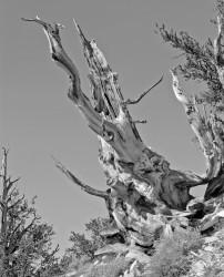 Bristlecone Pine #1, Bristlecone Pine Forest, California, U.S.A. INFO