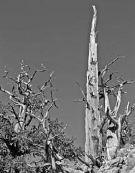 Alberi Contorti, Bristlecone Pine Forest, California, U.S.A. INFO